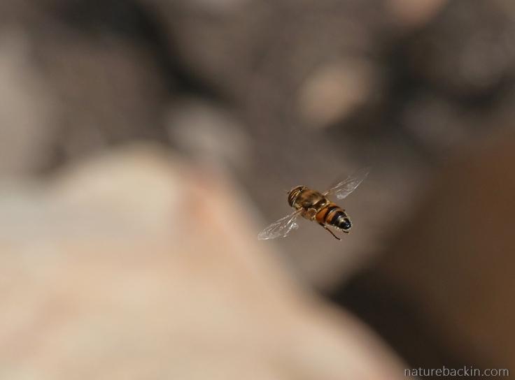 Gamkaberg-hoverfly