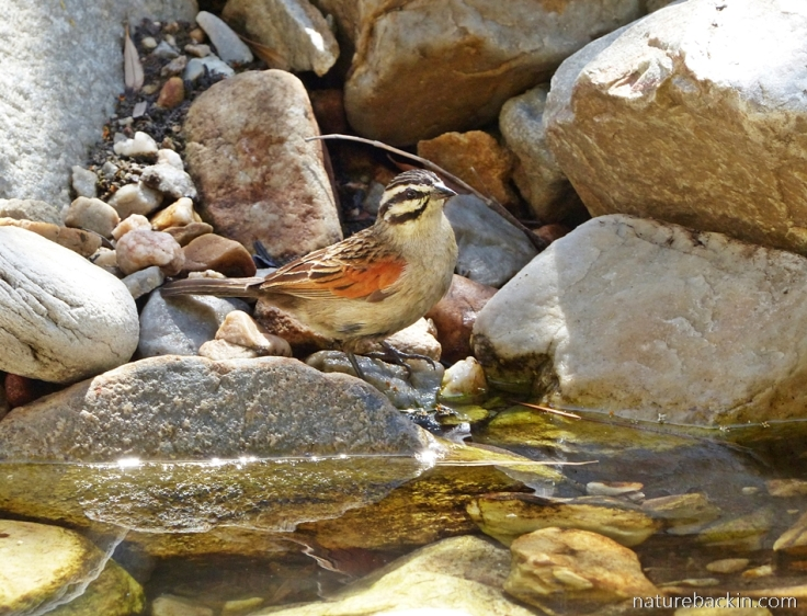 Cape Bunting drinking at a rockpool in a stream, Gamkaberg
