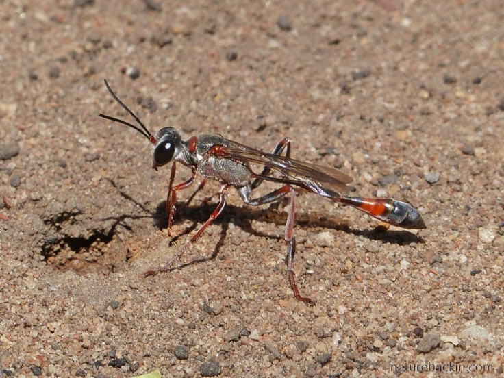 Thread-wasted Wasp excavating nest in the sand, Gamkaberg