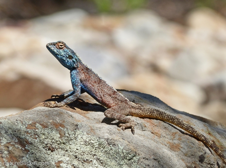 Southern Rock Agama basking on a rock, Gamkaberg