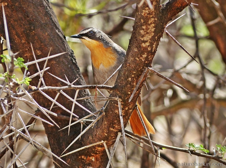 A Cape Robin-chat perched among thorns in a Sweet thorn tree
