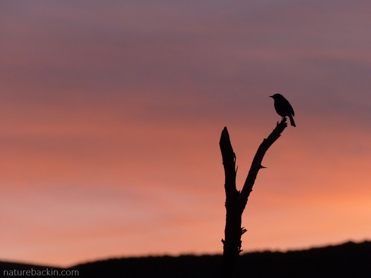 Bird in silhouette at sunset, Gamkaberg Nature Reserve