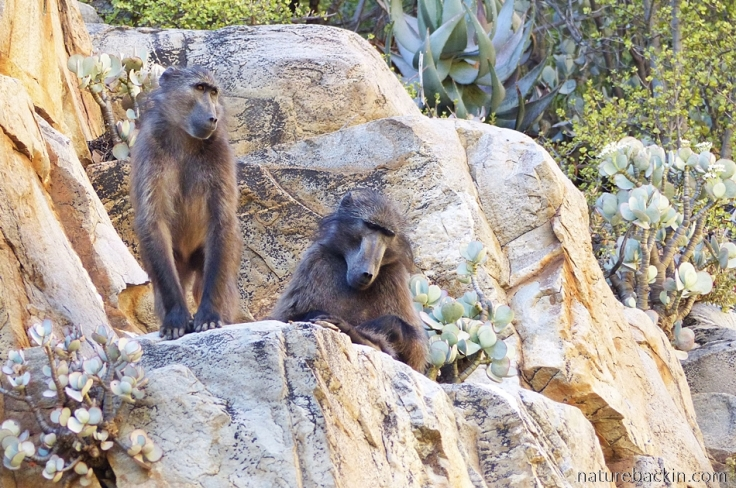 Baboons on rock face at Tierkloof gorge, Gamkaberg
