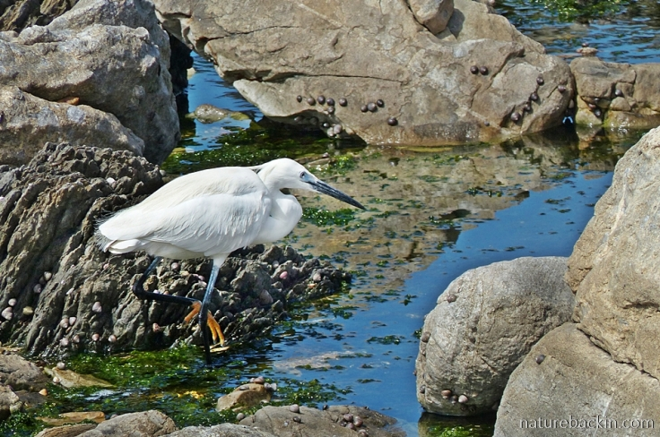 Little Egret looking for prey in rock pools, Onrus