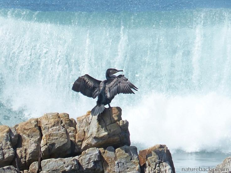 Onrus-Cormorant