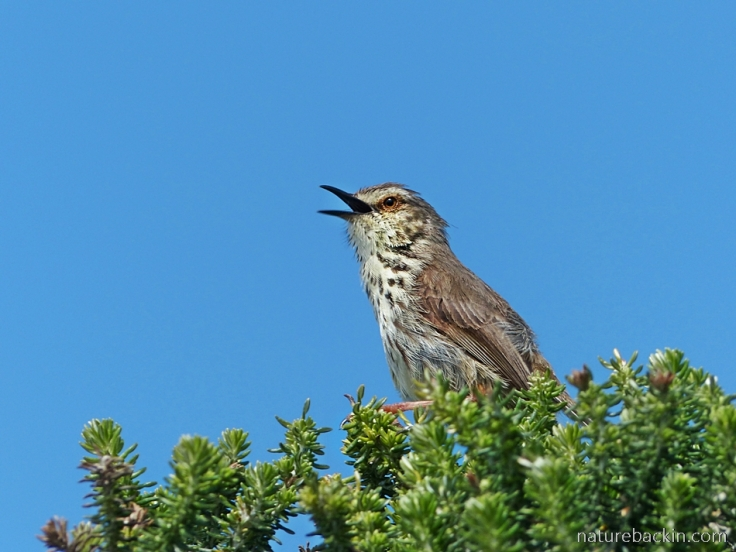 Karoo Prinia singing from shrub at Onrus coastal path
