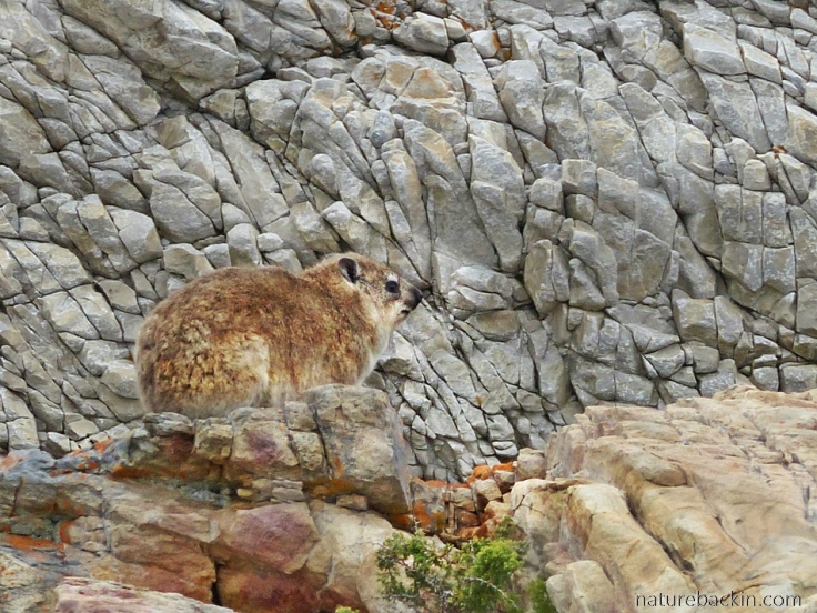Dassie on rocks near coastal path, Onrus, Western Cape