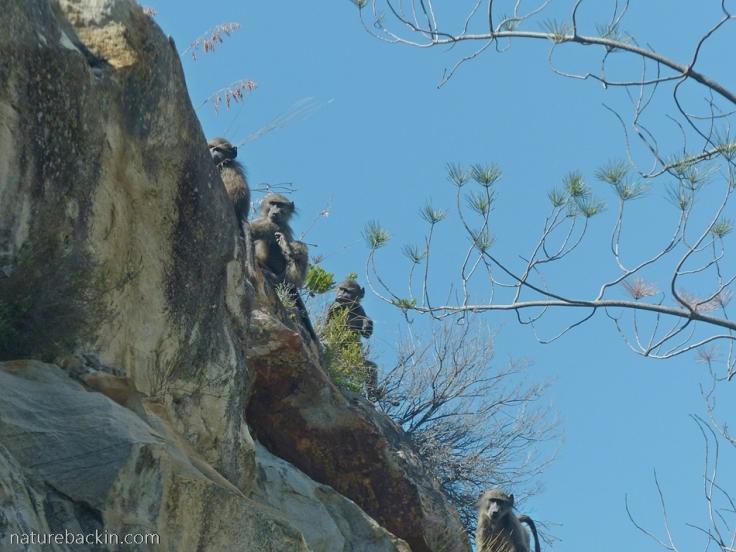 Baboons-Garcias-Pass