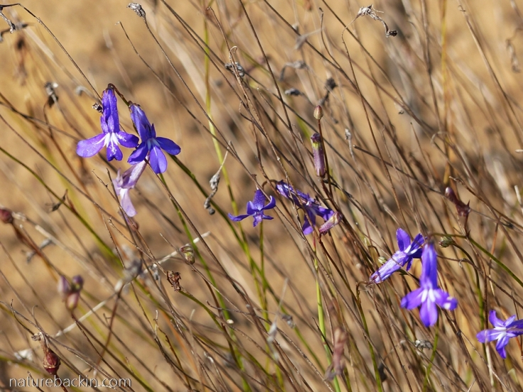 Wild lobelia in flower at Wild Rescue Nature Reserve in the Western Cape