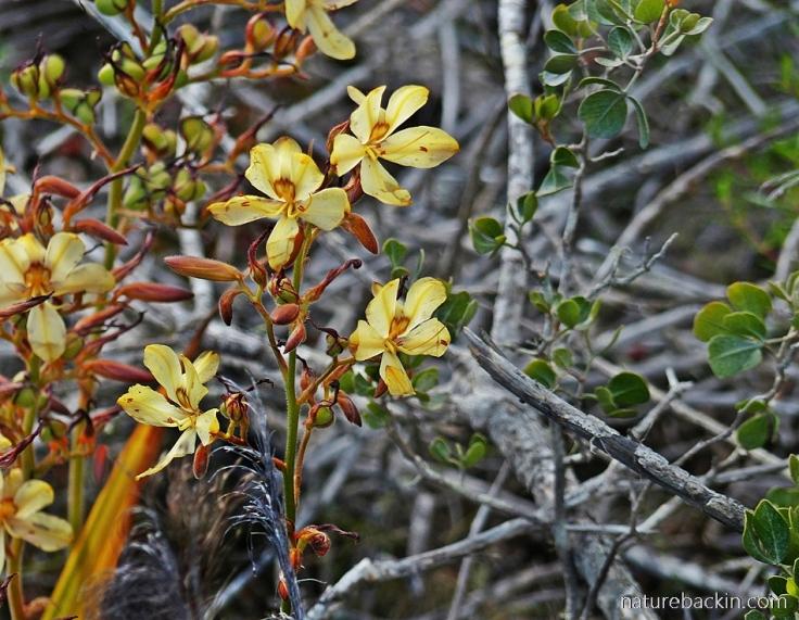 Wild-Rescue-Wachendorfia-paniculata
