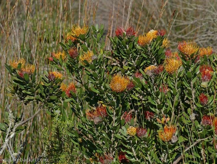 Still Bay pincusion (Leucospernum-praecox) in flower