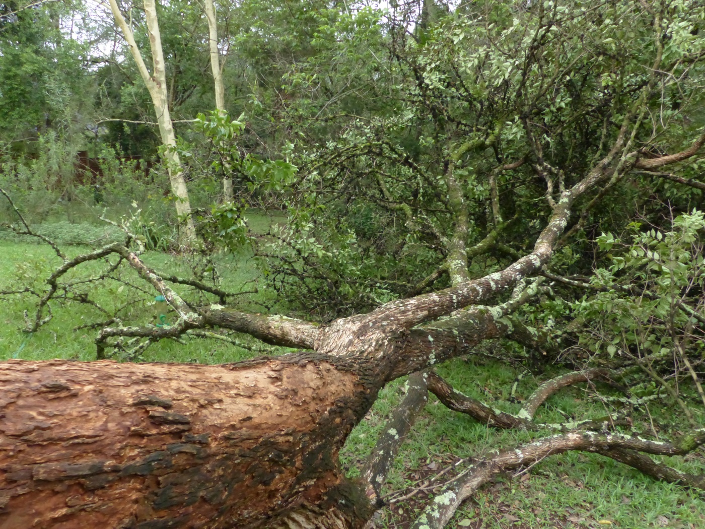 Halleria lucida fallen over in suburban garden, South Africa