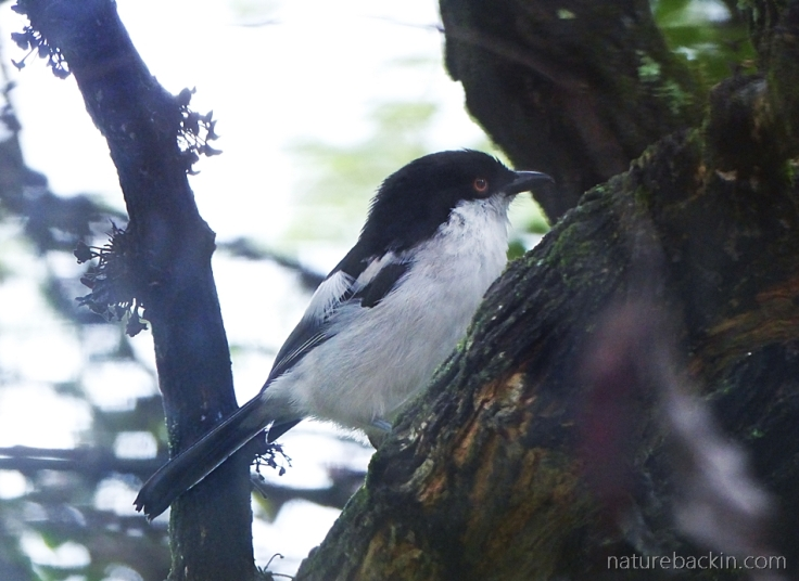 Black-backed puffback seen through a window