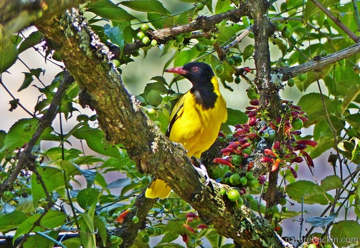 Black-headed oriole eating fruit of a tree fuchsia (Halleria lucida)