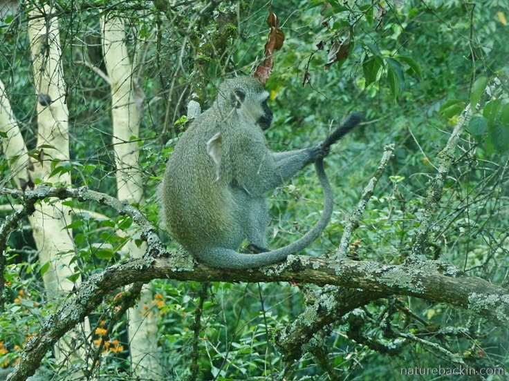 Vervet monkey in a tree grooming its tail