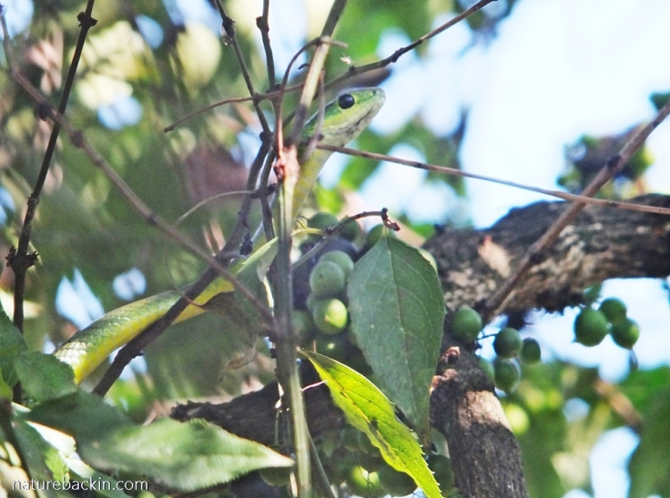 Eastern green snake in a tree in a suburban garden