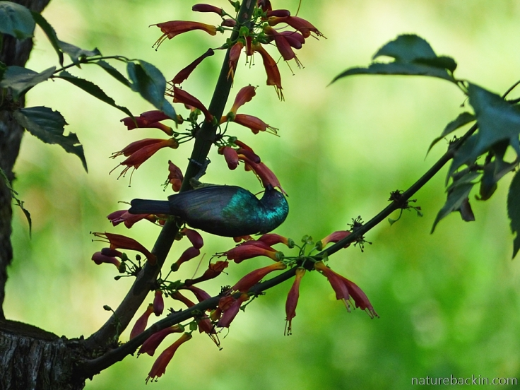 Sunbird and blossoms of tree fuchsia (Halleria lucida)