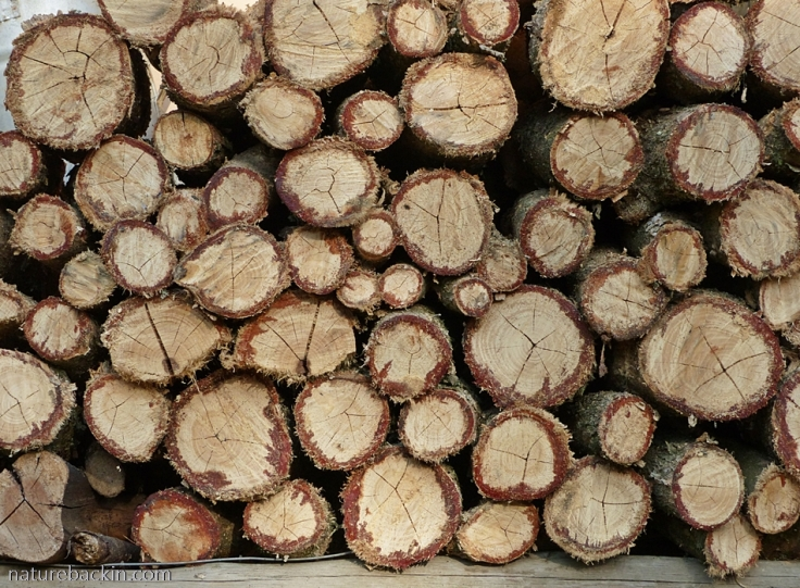 Cut wood of tree fuchsia (Halleria lucida) on woodpile