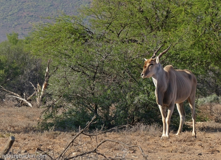 Eland during drought at Camdeboo National Park, South Africa