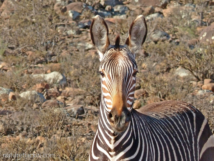 Portrait of a Cape mountain zebra at Camdeboo National Park