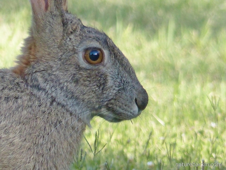 Close-up of a scrub hare, Camdeboo National Park, Eastern Cape