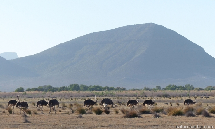 Ostriches at Camdeboo-National-Park, South Africa