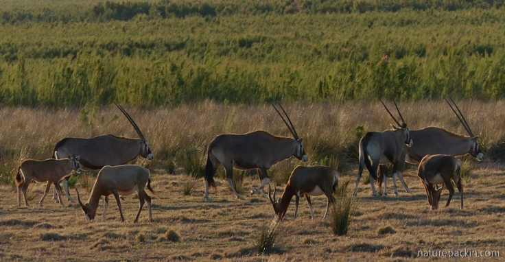 Gemsbok and blesbok at Camdeboo National Park, Eastern Cape, South Africa