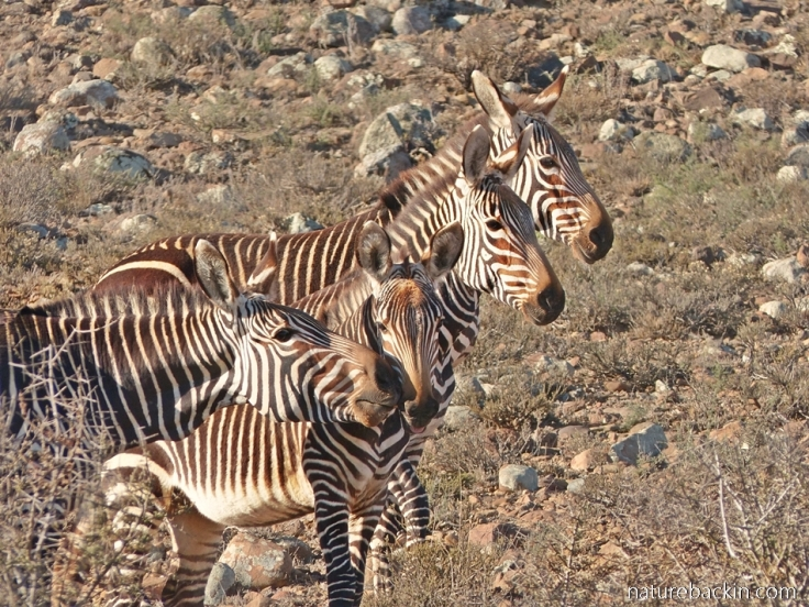 Cape mountain zebras at Camdeboo National Park, South Africa