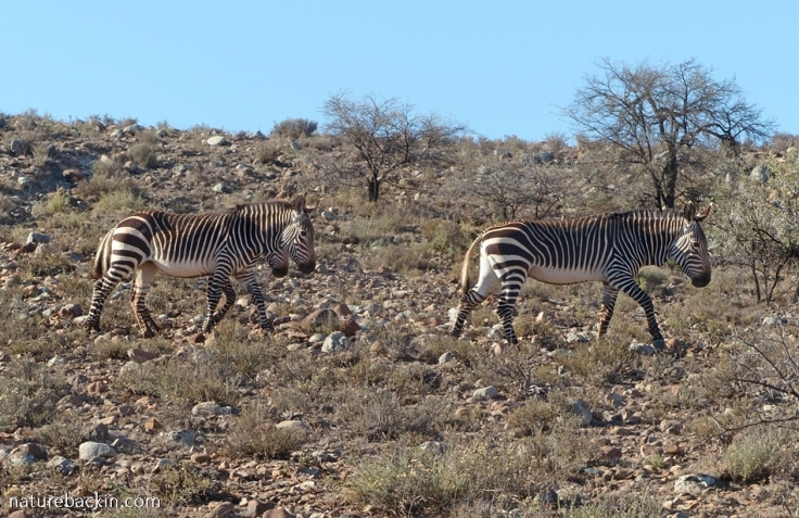 Cape mountain zebras walking at Camdeboo National Park, Karoo, South Africa