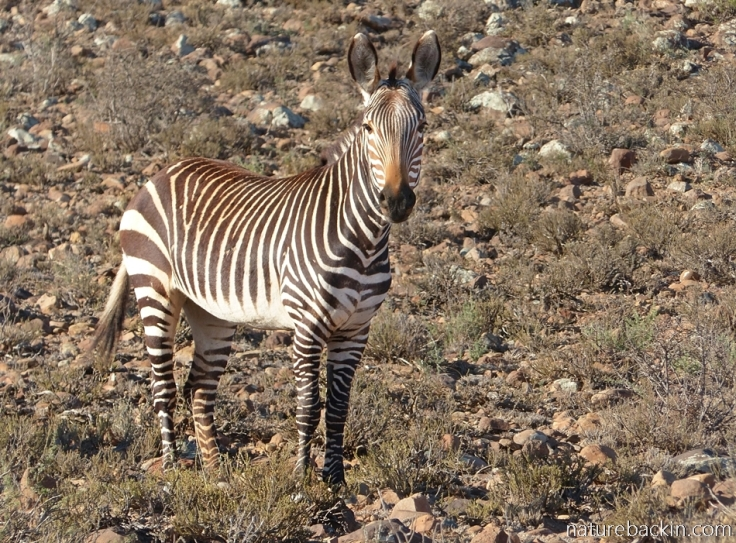 Cape mountain zebra at Camdeboo National Park in late afternoon sunshine