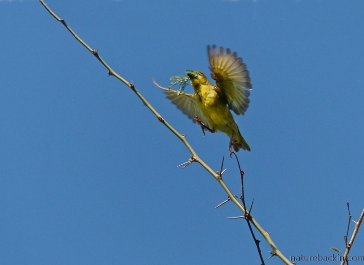 A village weaver collecting nesting material with wings spread against a blue sky