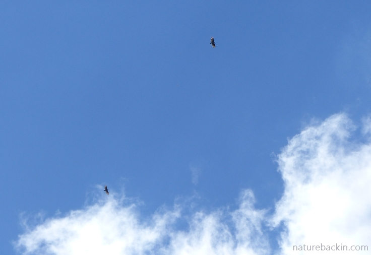 A paiar of crowned eagles soaring high over the suburbs, KwaZulu-Natal