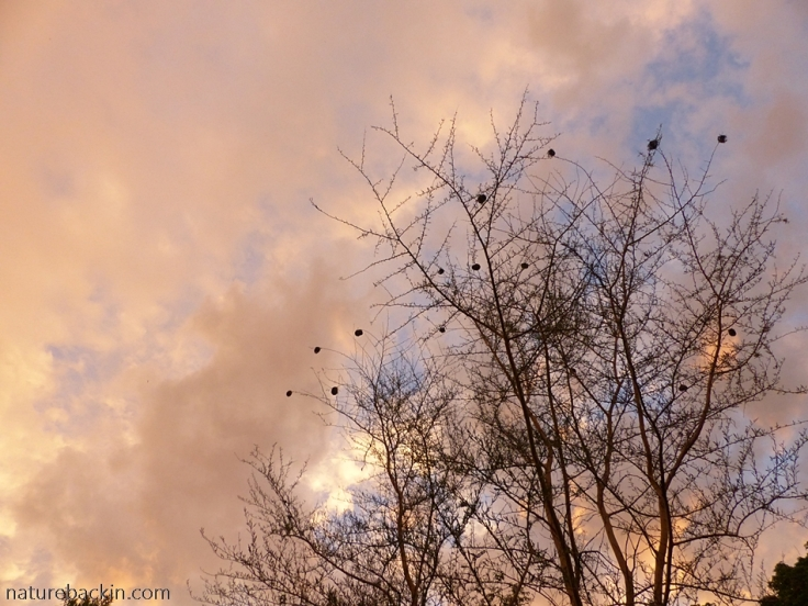 Weaver bird nests in fever trees against a sunset sky in a suburban garden, South Africa