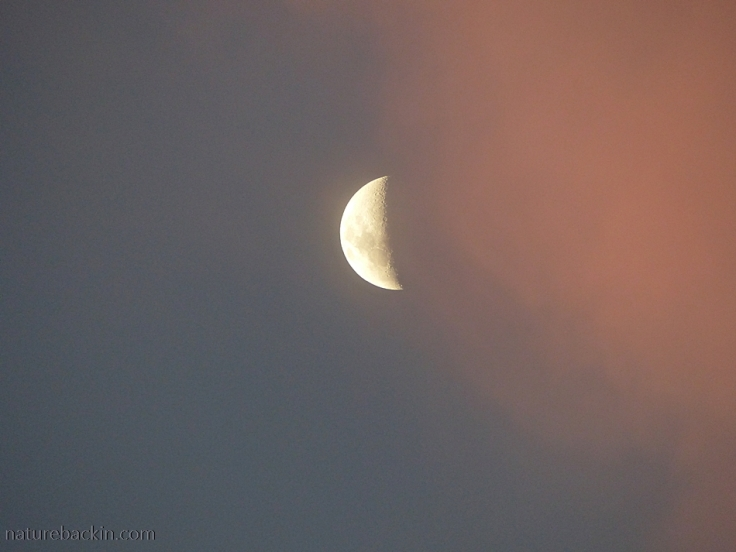 A rising moon with pink cloud in an evening sky
