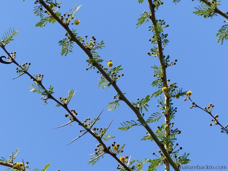 Acacia nilotica coming into flower against a blue sky, South Africa