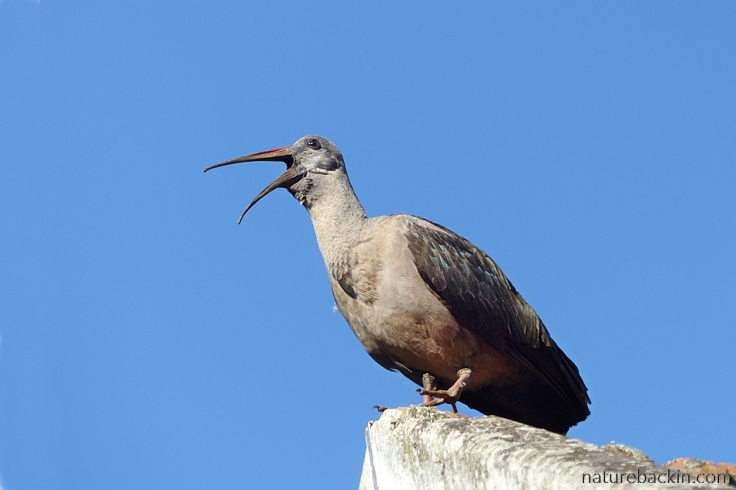 Hadeda ibis calling from a roof top against a blue sky