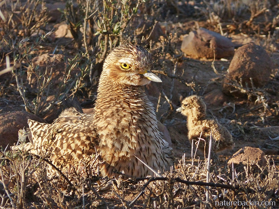 Spotted thick-knee (dikkop) with its chick, South Africa