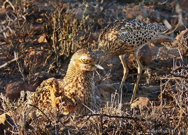 A spotted-thick-knee (dikkop) parents feeding chick