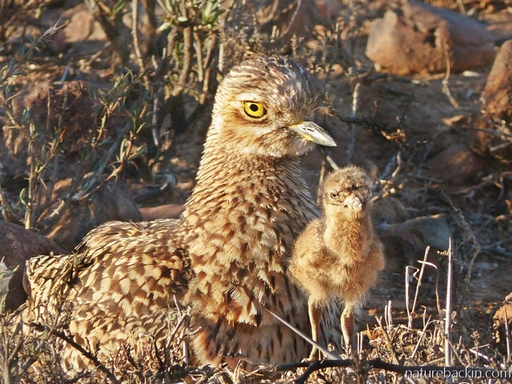 A spotted-thick-knee (dikkop) chick standing close too its parent