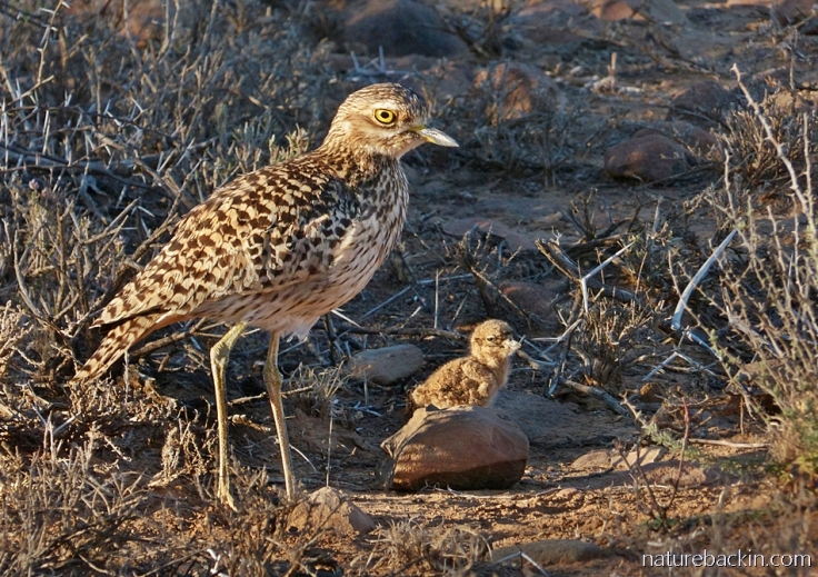 Spotted thick-knee (dikkop) and chick in late afternoon sunshine, Camdeboo National Park
