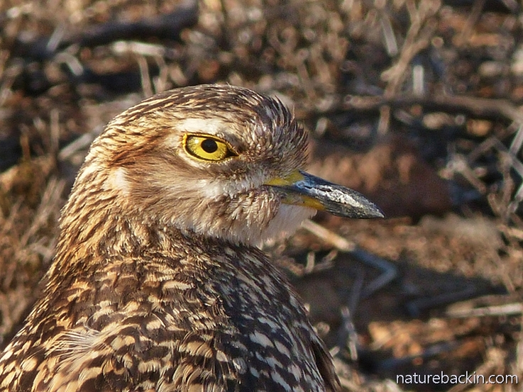 A spotted thick-knee (dikkop) at Camdeboo National Park, South Africa