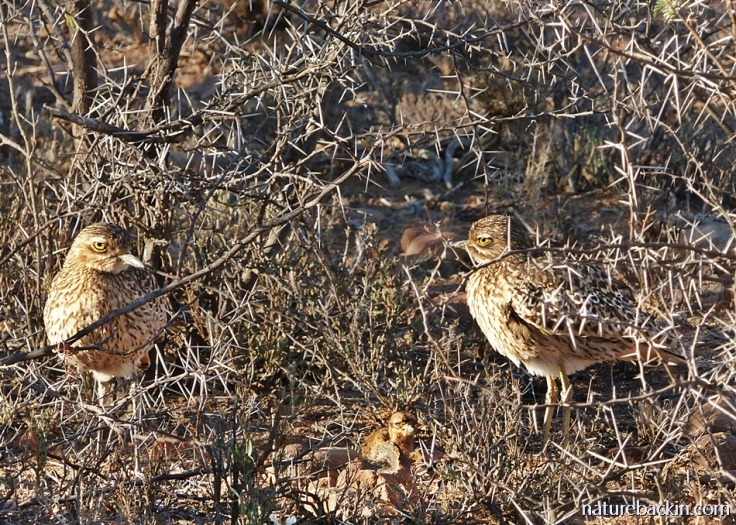 A pair of spotted thick-knees (dikkops) with their chick, Camdeboo National Park, South Africa