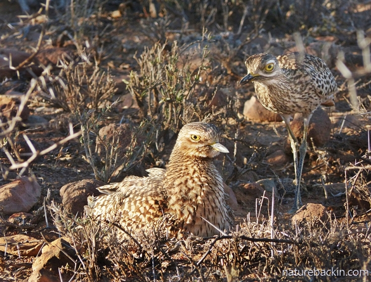 Spotted thick-knee 4