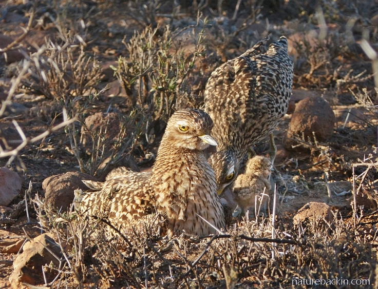 A pair of spotted thick-knee (dikkop) parents feeding their chick