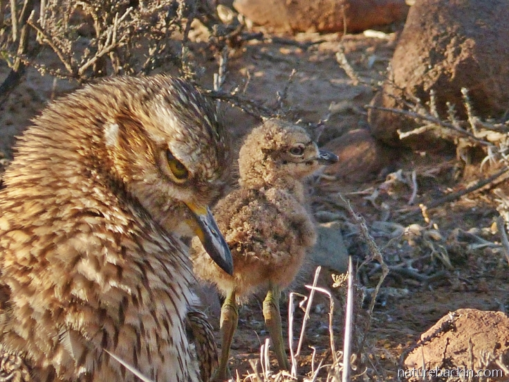 A spotted-thick-knee (dikkop) chick standing next to its parent