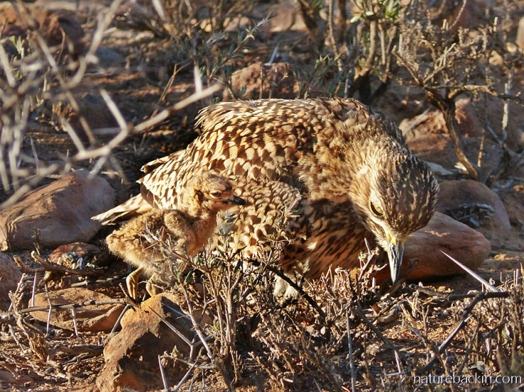 A spotted-thick-knee (dikkop) chick enjoying the late afternoon sun with its parent