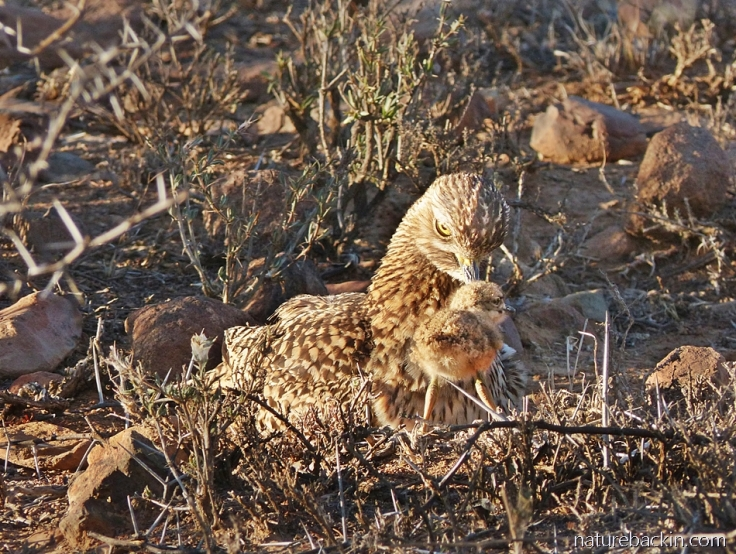 A spotted-thick-knee (dikkop) check watched over by its parent
