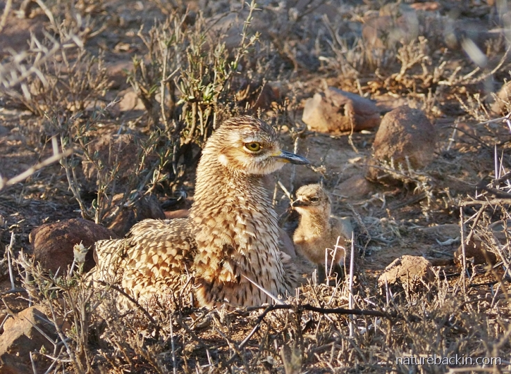 A spotted-thick-knee (dikkop) chick looking up at its parent