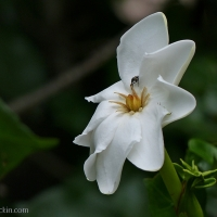 Wild gardenia: At home in forests and gardens