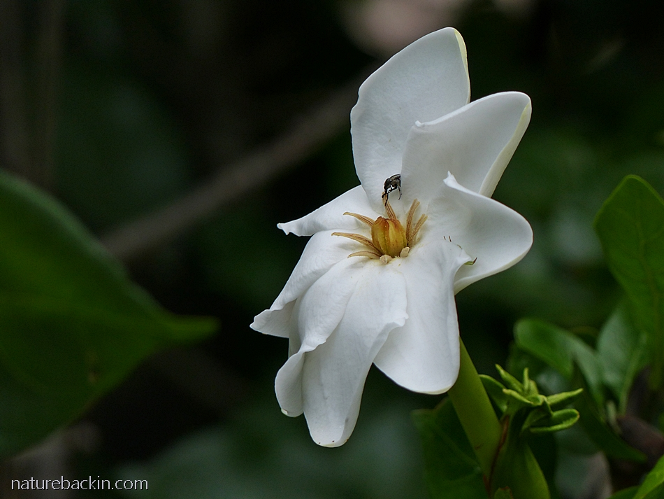 Flower of the Gardenia thunbergia - the forest or wild gardenia